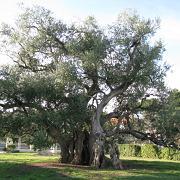 kastela-olive-tree